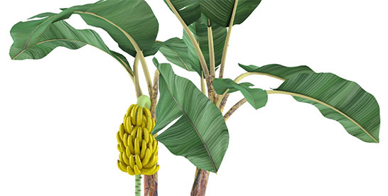 Bananas Do Not Grow On Trees The Banana Plant Is Actually Worlds Tallest Herb That Can Upwards Of 25 Feet Tall
